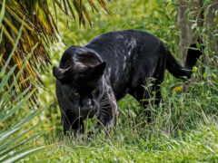 panther, black, коллекция