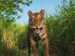 тигр, national, geographic