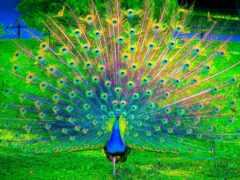 птица, peacock, павлина