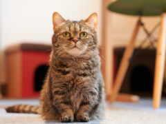 кот, порода, zodiac