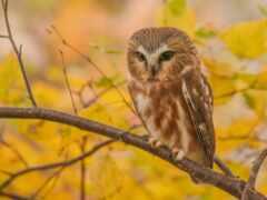 сова, branch, осень