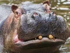 бегемот, гиппопотам, animal