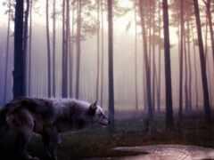 волк, лес, stokvolk