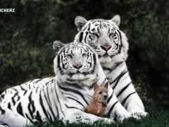 white, тигрица, тигр