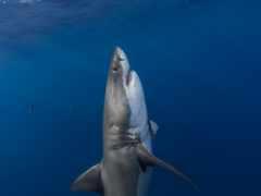 акула, белая, underwater