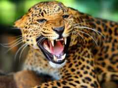 animal, ухмылка, леопард