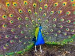 peacock, птица, white
