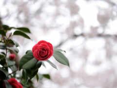 цветы, makryi, scarlet