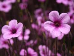 цветы, hoa, purple