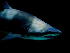 акула, злая