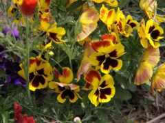 pansy, цветы, глаз