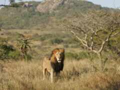 lion, animal, les