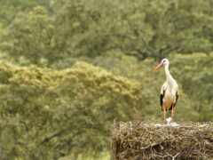 nest, stork, птица