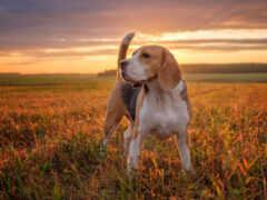 beagle, щенок, собака