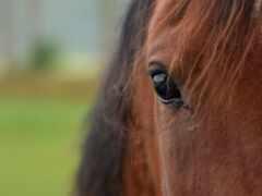 лошадь, clique, cheval