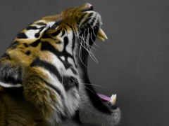 тигр, пасть, кошки