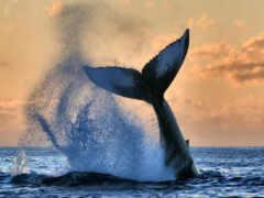 кит, animal, красивый