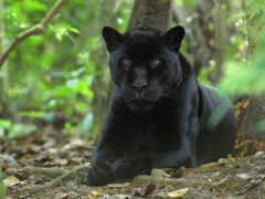 zhivotnye, panther, животных