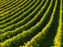 плантация, виноград, one