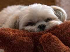 собака, lapdog, шерсть