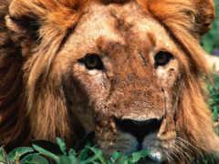 львы, фотографии, тигры