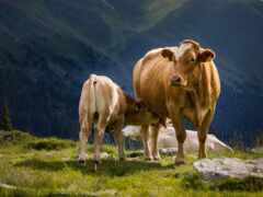 cow, теленка, animal