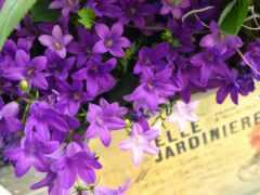 purple, цветы, bell