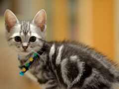 котенок, серый, grey