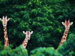 zhivotnye, животных, жирафы