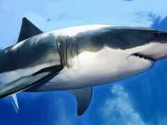 акула, под, water