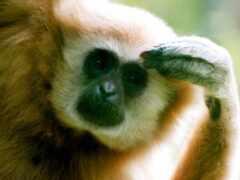 animal, обезьяна, взгляд