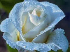роза, drop, white