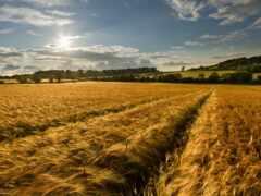 поле, пшеница, ветер