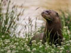 otter, цветы, река