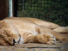 львица спит