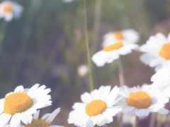 flowers, cool, ромашки