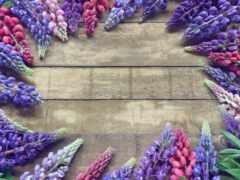 люпин, цветы, lupine