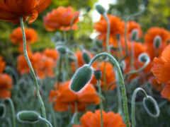 цветы, оранжевый, shirokoformatnyi