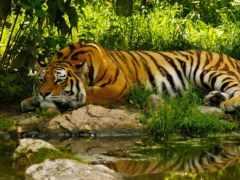 умиротворение, тигр, water
