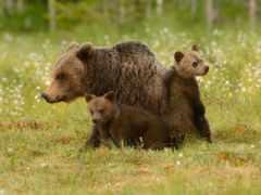 медведь, bears, браун