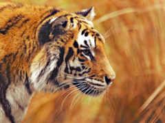 тигр, tigre, tigers