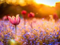 закат, cvety, тюльпаны