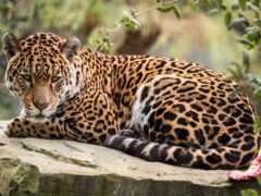 леопард, jaguar, african
