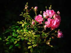 роза, life