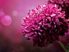 desktop, цветы