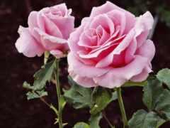 розы, роза, роз