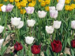 тюльпан белый и красный