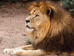 lion, лью, взгляд