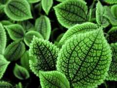листва, зеленые, макро