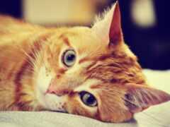 кот, red, ложь